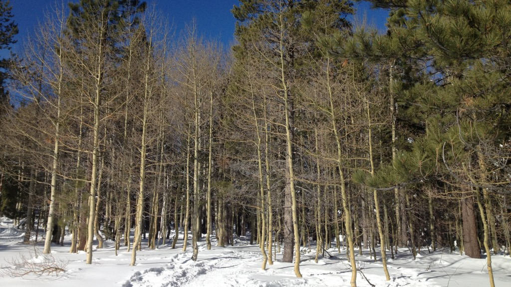 "The ""Walkabout"" snowshoe trail at Tahoe Donner Cross Country as it wanders into the aspen grove"